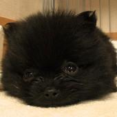 「ポメラニアンスナップフォトギャラリー」に写真を追加しました! テーマは「子犬」。私のお友達の黒ポメ「こじろうくん」が友情出演してくれています!